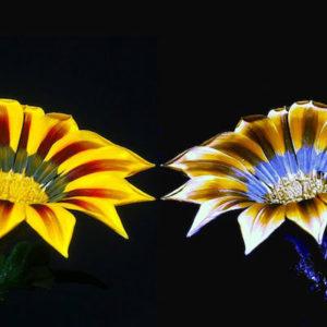 ultraviolet-Gaillardia